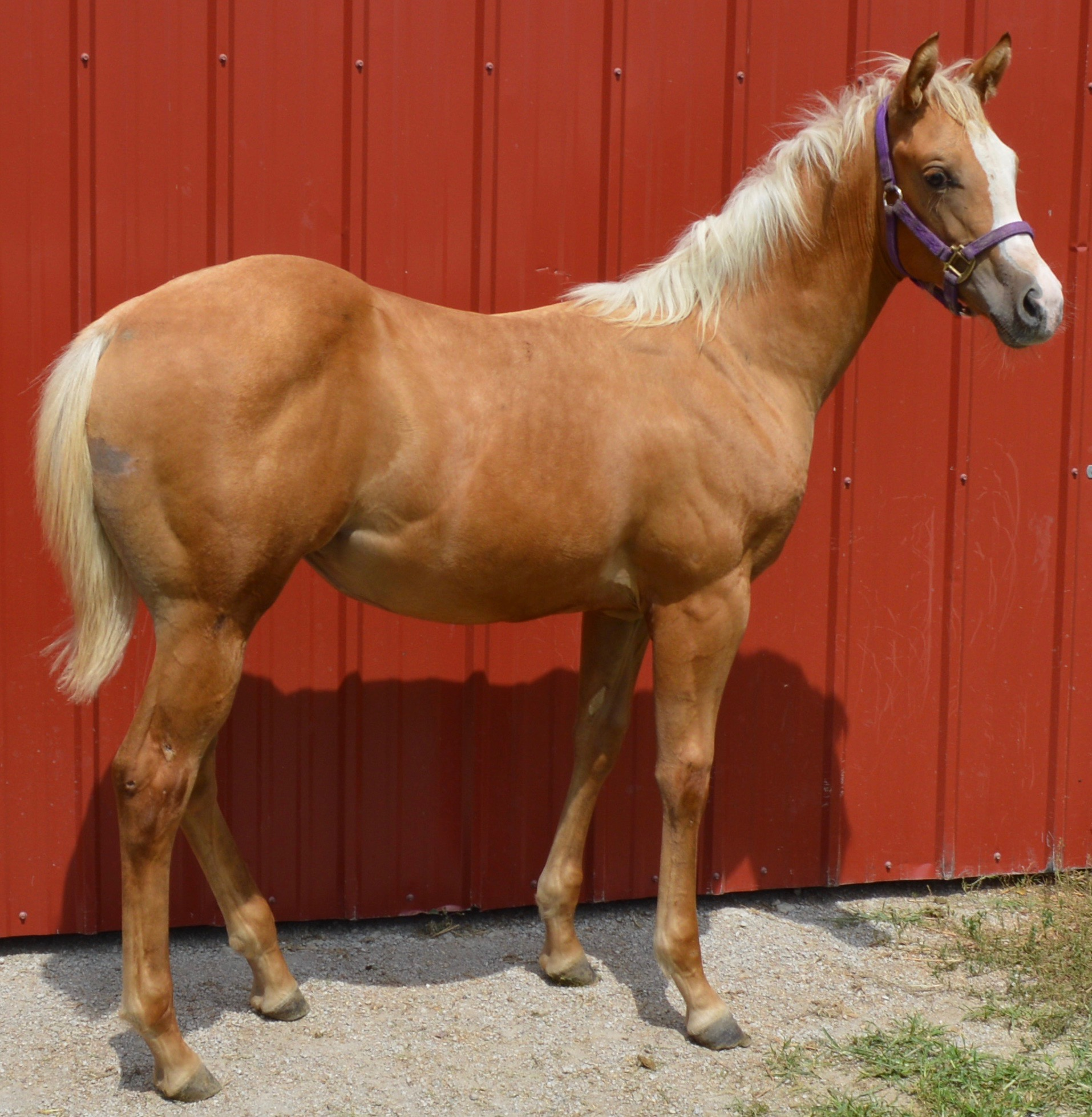 For Sale - Porter Quarter Horses