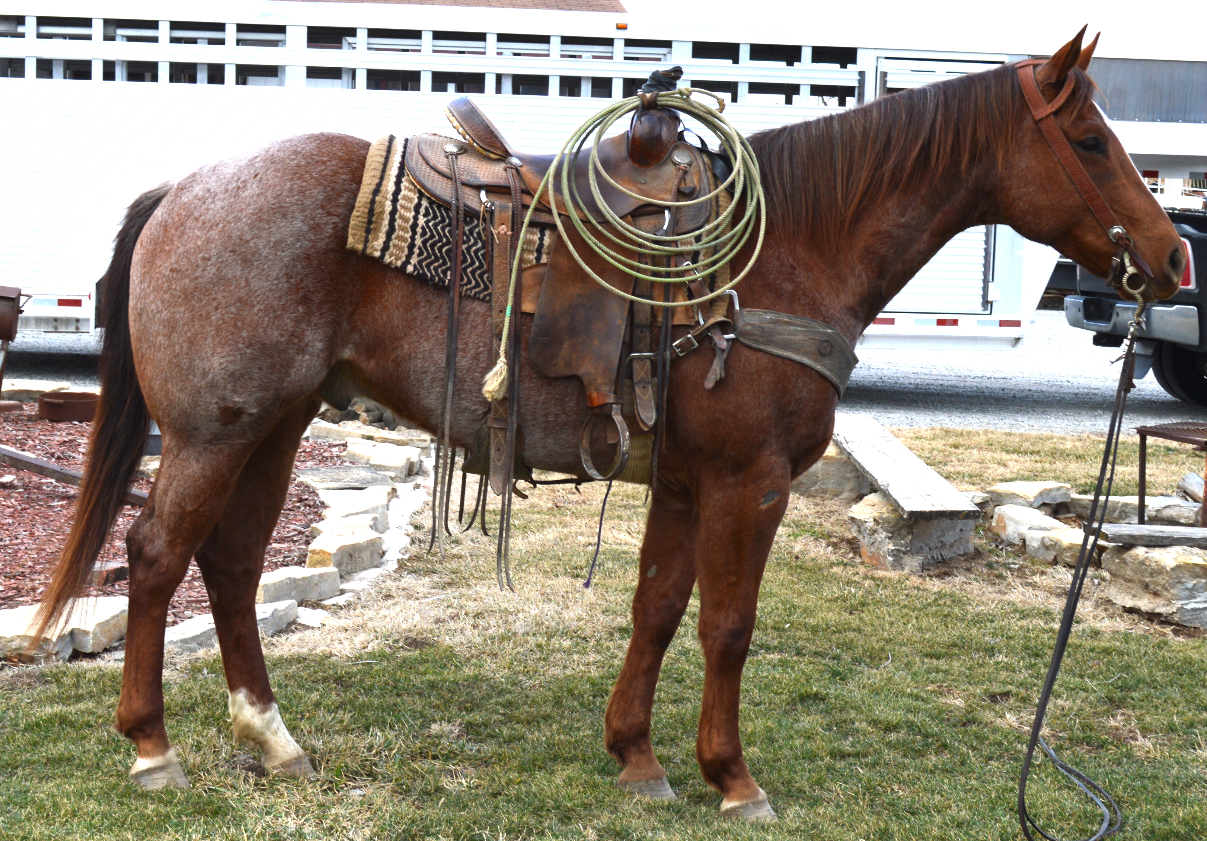 dark red roan quarter horse