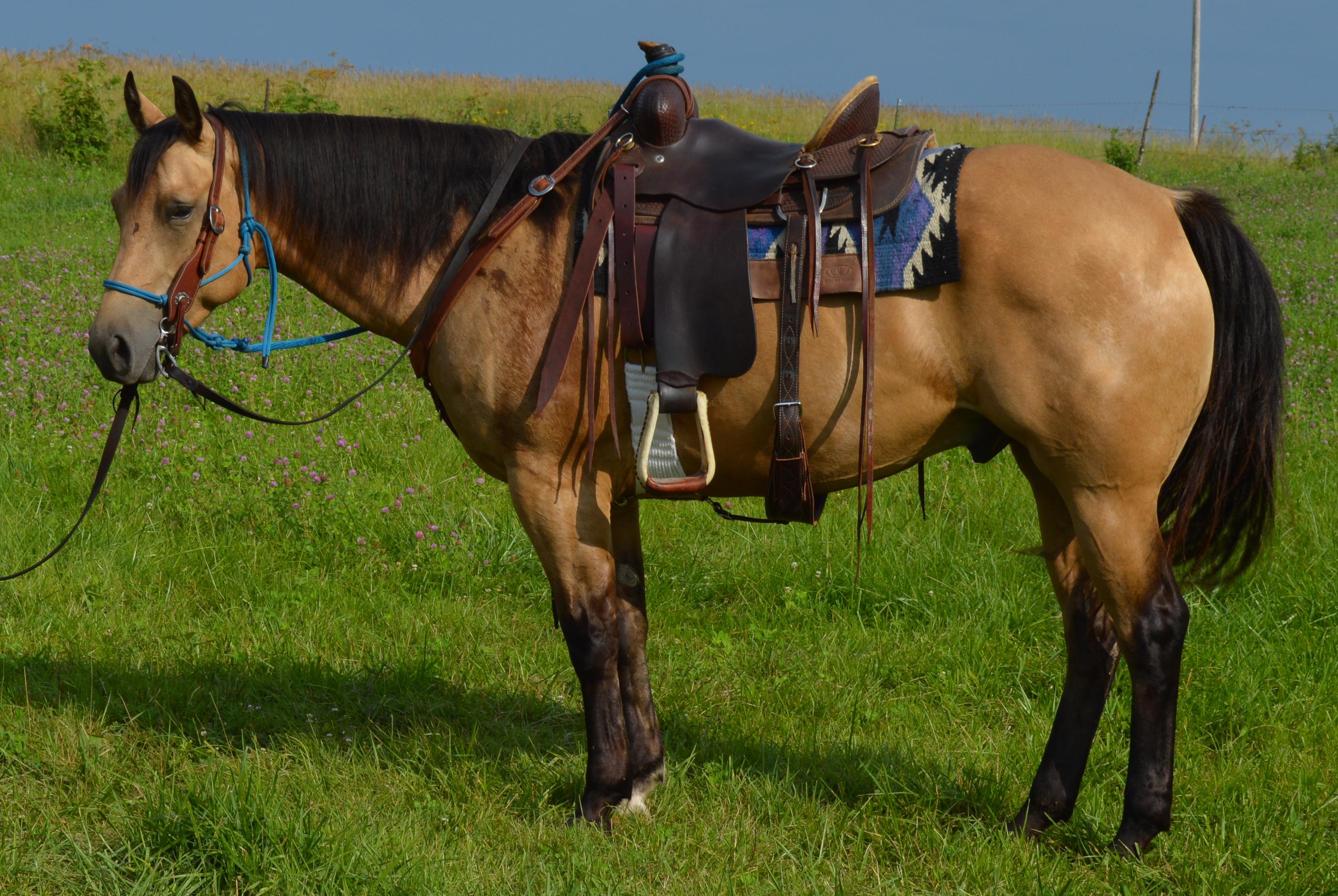 Quarter horse kaufen